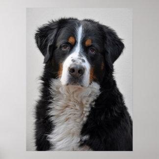 Impresión hermosa de la foto del perro de montaña  póster