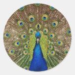 Impresión hermosa de las plumas del pavo real y de pegatinas redondas