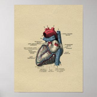 Impresión humana 1902 del vintage de la anatomía poster