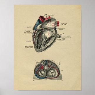 Impresión humana 1902 del vintage de la anatomía posters