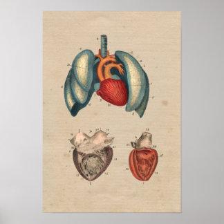 Impresión humana de la anatomía 1841 de los posters