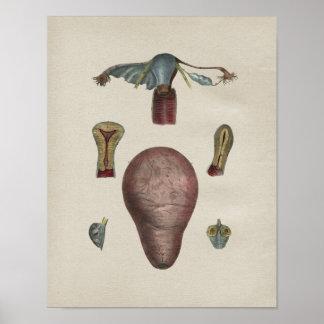 Impresión humana del vintage de la anatomía del poster