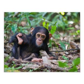 Impresión infantil del chimpancé de Kibale, Cojinete