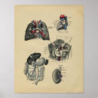 Impresión interna humana 1902 del vintage de la póster
