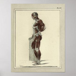 Impresión lateral de la anatomía de los músculos póster