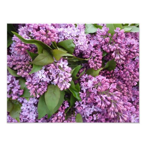 IMPRESIÓN - lilas en primavera - Francia Fotografía