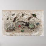 Impresión litográfica antigua del escarabajo posters