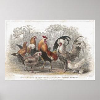 Impresión litográfica antigua del pollo y de la ga poster