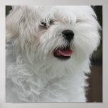 Impresión maltesa blanca del poster del perrito