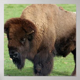 Impresión norteamericana del bisonte posters