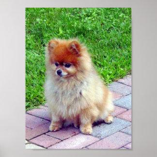 Impresión o poster de Pomeranian