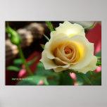 Impresión/poster del brote del rosa blanco - selec