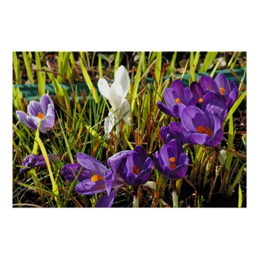 Impresión púrpura y blanca del poster del azafrán