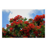 Impresión real del árbol floreciente de Poinciana Impresiones