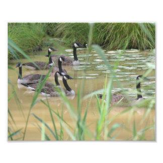 Impresión recluida gansos de la naturaleza del fotografía