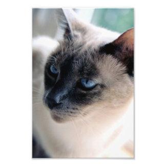 Impresión reservada de la foto del gato siamés fotografía