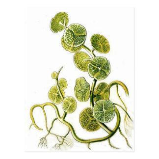 Impresión retra hermosa de la planta de la alga ma postal
