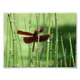 Impresión roja de la libélula fotografía