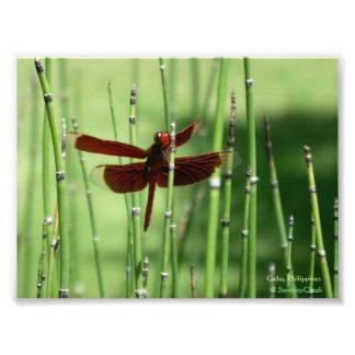 Impresión roja de la libélula impresiones fotograficas