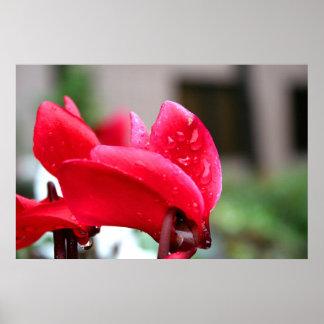Impresión roja de la lona de la flor del Cyclamen Póster