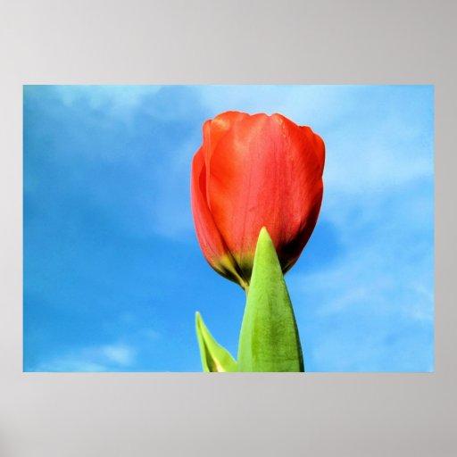 Impresión roja del tulipán póster