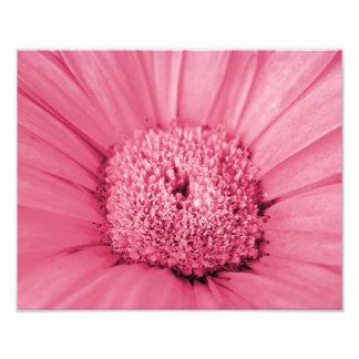 Impresión rosada de la foto de la margarita del Ge Fotografías