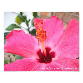 Impresión rosada de la foto del hibisco fotografía