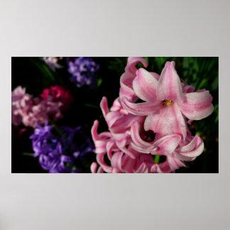 Impresión rosada del jacinto poster