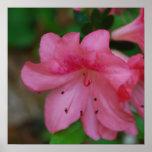 Impresión rosada del poster de la azalea