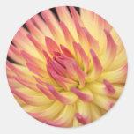 Impresión rosada y amarilla de la dalia pegatinas redondas