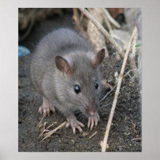 Impresión salvaje joven de la rata póster