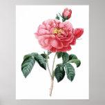 Impresión SUPERIOR botánica de la CALIDAD del rosa Póster