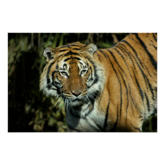 Impresión Tigre malayo Impresiones