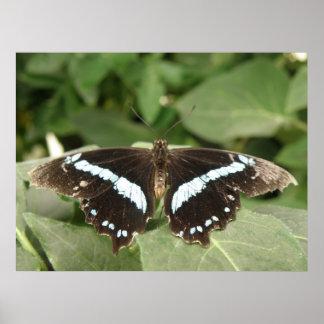 Impresión tropical blanco y negro de la mariposa posters
