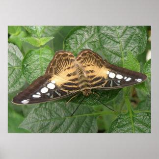Impresión tropical bonita de la mariposa de las po poster