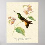 impresión Violeta-throated del arte del colibrí de Póster