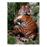 Impresiones del gato grande del tigre postales