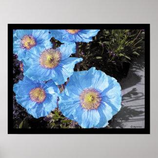 Impresiones del poster de las amapolas azules