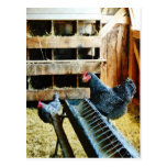 In the Chicken Coop Postcard