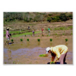 In The Rice Field - Ilocos, Philippines Poster