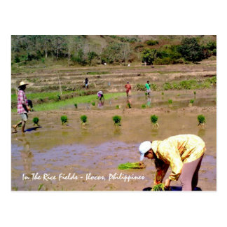 In The Rice Fields - Ilocos, Philippines Postcard
