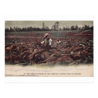 In The Tobacco Fields of Old Virginia Postcard