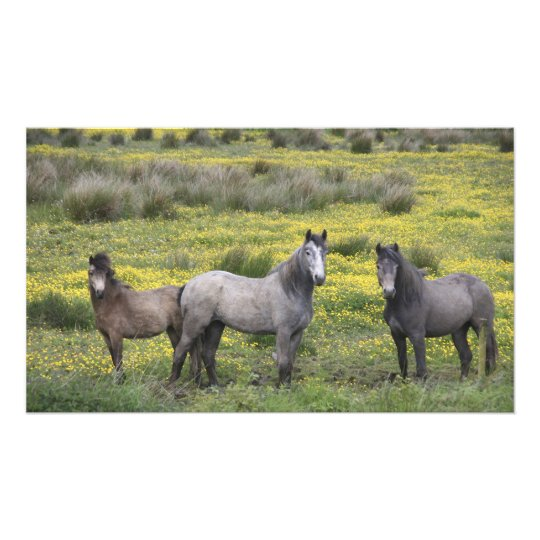 In Western Ireland, three horses with long Photo Print