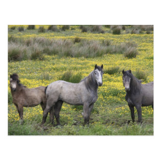 In Western Ireland, three horses with long Postcard