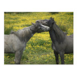 In Western Ireland,two horses nuzzle in a Postcard