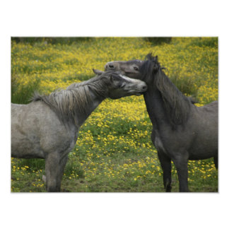In Western Ireland,two horses nuzzle in a Poster