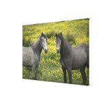 In Western Ireland, two horses with long Gallery Wrap Canvas