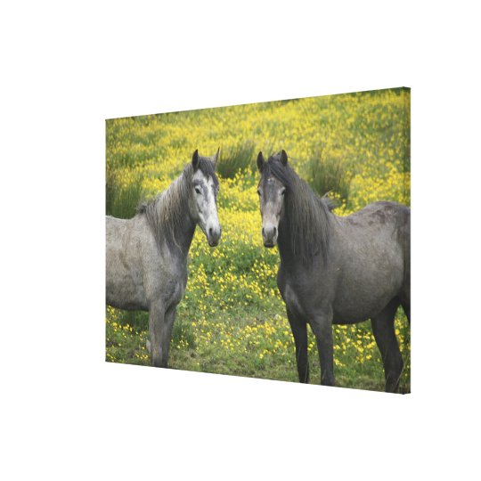 In Western Ireland, two horses with long Canvas Print