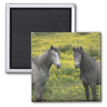 In Western Ireland, two horses with long Fridge Magnet
