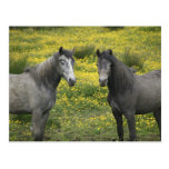 In Western Ireland, two horses with long Postcard